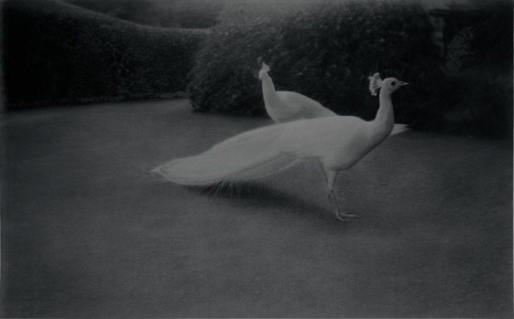White Peacocks, 2007-2009