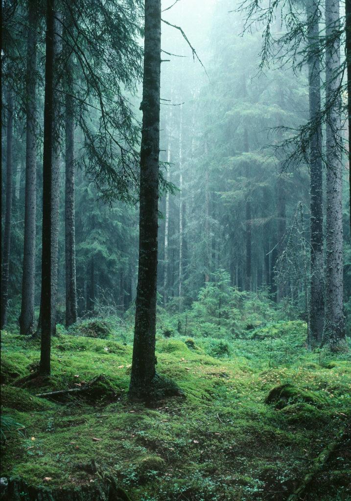 Forêt suédoise