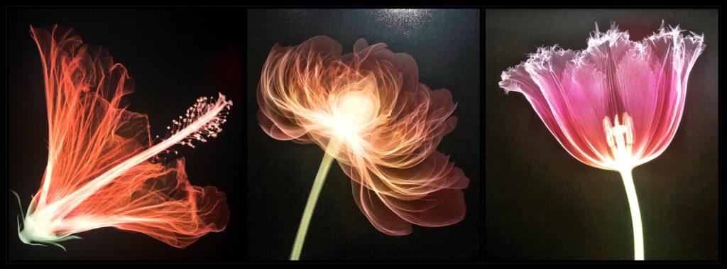 Hibiscus, pivoine et tulipe, Nick Veasey au Fotografiska