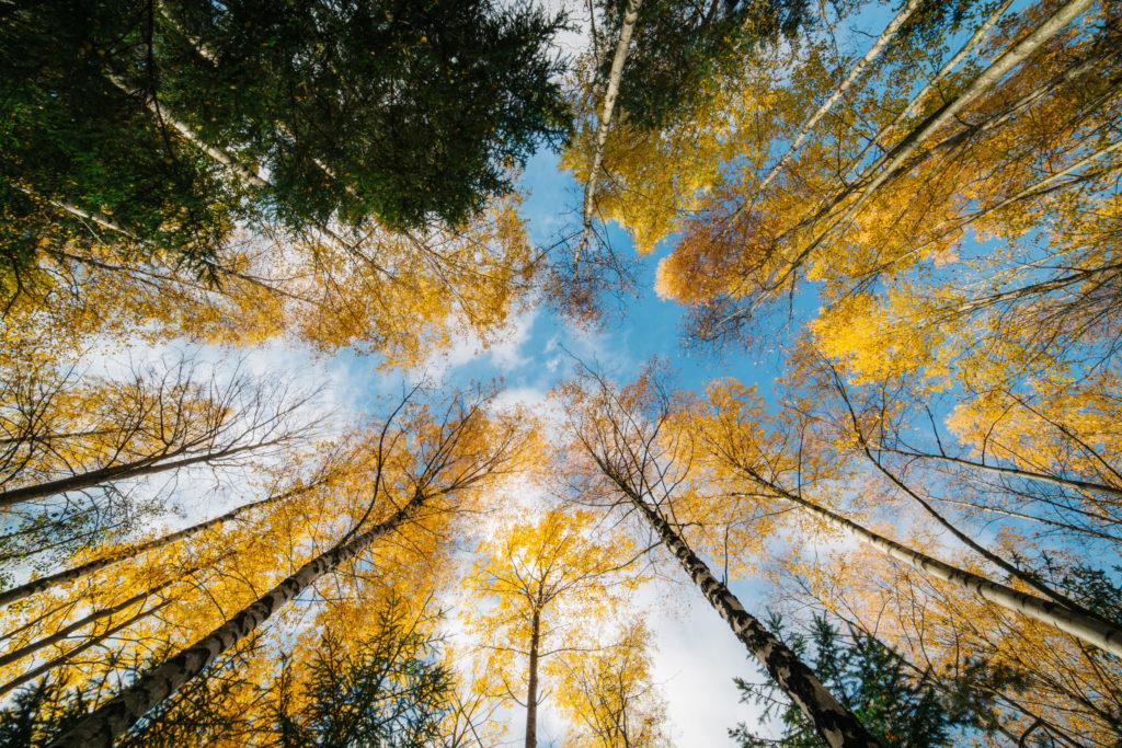 Forêt automnale, bouleaux