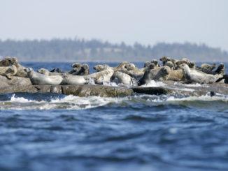 Phoques gris dans l'archipel de Stockholm