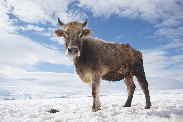 Vache dans la neige (ko på isen)